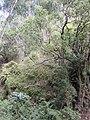 Starr-011026-0036-Thunbergia alata-invading gulch with natives-Maliko Gulch Piiholo-Maui (24247301710).jpg