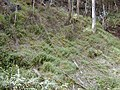 Starr-011026-0041-Thunbergia alata-habit-Maliko Gulch Piiholo-Maui (23914193174).jpg