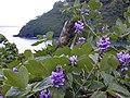 Starr-021012-0004-Pueraria montana var lobata-flowers-Honomanu Hana Hwy-Maui (24470577221).jpg