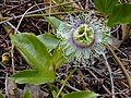 Starr-030405-0236-Passiflora edulis-flower-Makawao Forest Reserve-Maui (24334472670).jpg