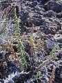 Starr-031001-0072-Pellaea ternifolia-habit-Puu o Maui HNP-Maui (24554475702).jpg