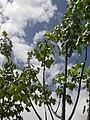 Starr-040318-0040-Hibiscus brackenridgei subsp brackenridgei-habit-Maui Nui Botanical Garden-Maui (24606087101).jpg