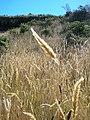 Starr-050816-3519-Anthoxanthum odoratum-habit-Waiale Gulch-Maui (24708151931).jpg