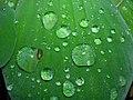 Starr-061108-9793-Pistia stratiotes-leaf-Hoolawa Farms-Maui (24775271371).jpg