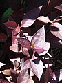 Starr-071024-0328-Alternanthera brasiliana-leaves-Enchanting Floral Gardens of Kula-Maui (24801048231).jpg
