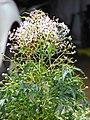 Starr-090421-6296-Melia azedarach-cv Floribunda flowering and fruiting habit-Pukalani-Maui (24926135406).jpg