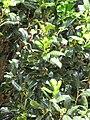 Starr-090609-0376-Ilex aquifolium-leaves and flowers-Haiku-Maui (24936969396).jpg
