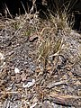 Starr-090628-1931-Bromus diandrus-seeding habit-Science City-Maui (24849620402).jpg