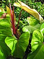 Starr-091104-0657-Philodendron sp-red stem and leaves-Nahiku-Maui (24894106811).jpg