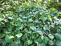 Starr-091104-8933-Piper gualiameanse-habit-Kahanu Gardens NTBG Kaeleku Hana-Maui (24620724349).jpg