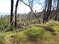 Starr-100303-3183-Rubus niveus-rebounding under burnt trees-Polipoli-Maui (24985004386).jpg