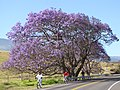 Starr-100505-5985-Jacaranda mimosifolia-flowering habit and road with bikers-Kula-Maui (24407018614).jpg