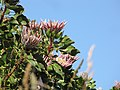 Starr-100601-6555-Protea cynaroides-flowers-Kula-Maui (25039201015).jpg