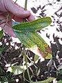 Starr-110330-4059-Cinnamomum verum-diseased leaf-Garden of Eden Keanae-Maui (25081180045).jpg
