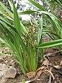 Starr-110411-5029-Dianella sandwicensis-fruiting habit form lavarum-Hawea Pl Olinda-Maui (25082633625).jpg