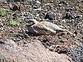 Starr-110926-8535-Plantago lanceolata-habitat with chukar napping-HVC HNP-Maui (24747654799).jpg