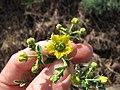 Starr-120403-4110-Ruta graveolens-flowers-Kula-Maui (25138455805).jpg