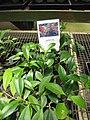 Starr-120522-6575-Aeschynanthus speciosus-in pots-Iao Tropical Gardens of Maui-Maui (25050675211).jpg