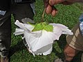 Starr-130312-2390-Hibiscus mutabilis-flower white with light pink blush-Pali o Waipio Huelo-Maui (25207249955).jpg
