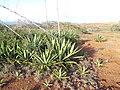 Starr-131218-2986-Agave sisalana-habit-Moaulaiki-Kahoolawe (25202624066).jpg