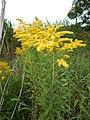 Starr-140930-2073-Solidago canadensis-flowers and leaves-Keokea-Maui (25128529712).jpg