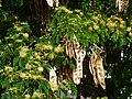 Starr-170626-0152-Albizia lebbeck-flowers seedpods-Midway Mall Sand Island-Midway Atoll (36319835461).jpg