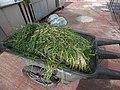 Starr-170627-0204-Allium fistulosum-harvested-Hydroponics Greenhouse Sand Island-Midway Atoll (36319964331).jpg
