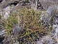 Starr 031001-2114 Lythrum maritimum.jpg