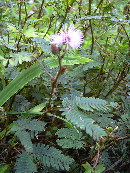 File:Starr 040209-0118 Mimosa pudica.jpg