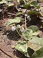 Starr 040403-0070 Solanum nelsonii.jpg