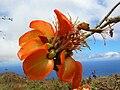 Starr 050721-7310 Erythrina sandwicensis.jpg