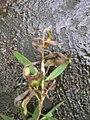 Starr 060306-6635 Melaleuca quinquenervia.jpg