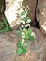 Starr 070124-3899 Ficus microcarpa.jpg