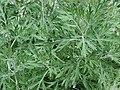 Starr 070906-9024 Artemisia australis.jpg