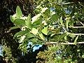 Starr 080812-9684 Psydrax odorata.jpg