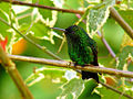 Steely-vented Hummingbird (Amazilia saucerrottei) 4.jpg