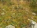Stensättning, övertorvad, Forsbacka (a).JPG