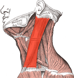 http://upload.wikimedia.org/wikipedia/commons/thumb/1/1a/Sternocleidomastoideus.png/250px-Sternocleidomastoideus.png