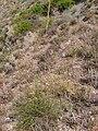Stipa tenacissima Habitat 2010-7-17 SierradeAlfacar.jpg