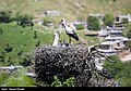 Storks in Marivan County of Iran 13.jpg