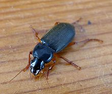 Strawberry seed Beetle. Carabidae. Harpalus rufipes - Flickr - gailhampshire (2).jpg