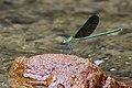 Stream Glory (Neurobasis chinensis) male (45171291312).jpg