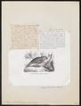 Strigops habroptilus - 1872 - Print - Iconographia Zoologica - Special Collections University of Amsterdam - UBA01 IZ18600041.tif