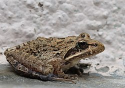 Strongylopus grayii Clicking Stream Frog EOS 00159.jpg