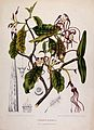 Strophanthus dichotomus Decne.; flowering branch with separa Wellcome V0042705.jpg