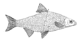 Study of Fishes-Fig 21.png