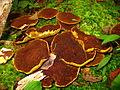 Suillus cavipes (4) (8110355567).jpg