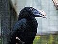 Sulawesi Hornbill RWD.jpg