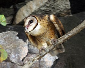 Sulawesi owl about to take off Q0S0080 - Flickr - Lip Kee.jpg