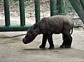Sumatran rhinoceros baby.jpg